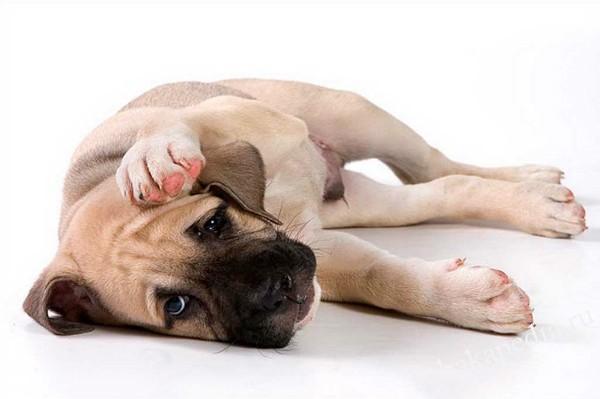 Баланопостит у собак