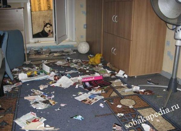 Содержание хаски в квартире