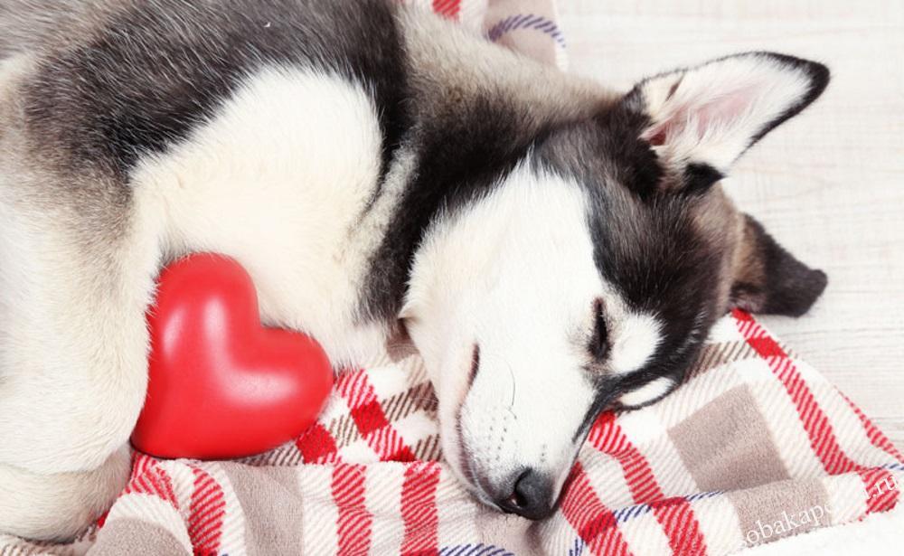 Причины сердечной недостаточности у собак