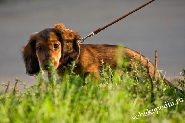 Приучаем собаку ходить в туалет на улице