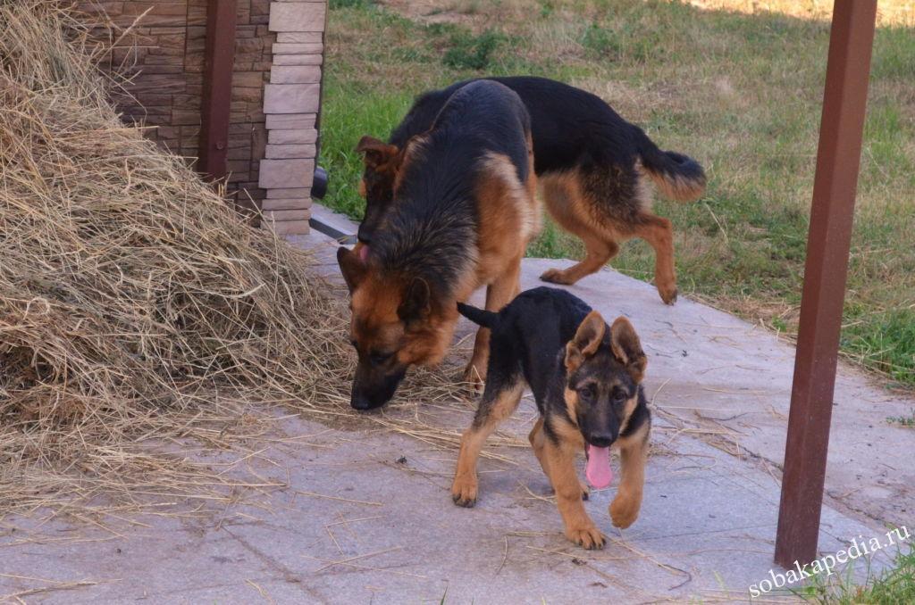 Дрессировка щенка немецкой овчарки