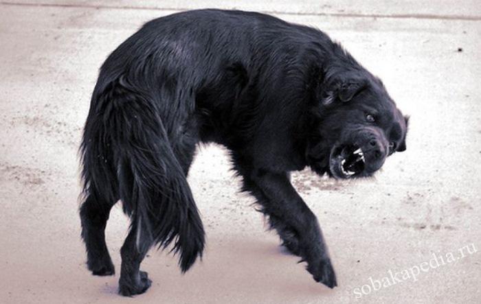 Лечение бешенства у собак