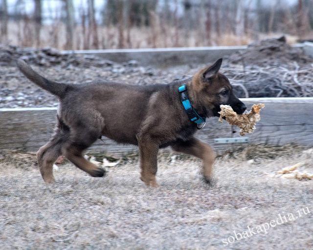 Чем нельзя кормить щенков немецкой овчарки