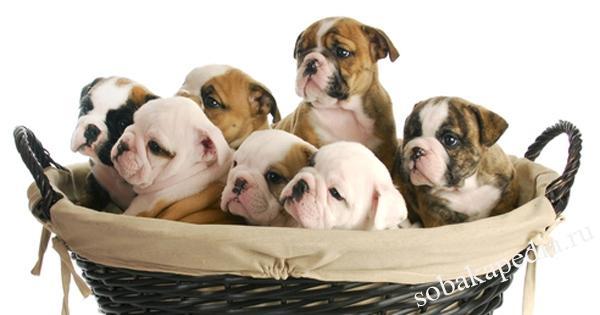 Осложнения при родах у собак