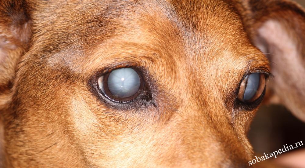Симптомы катаракты у собаки