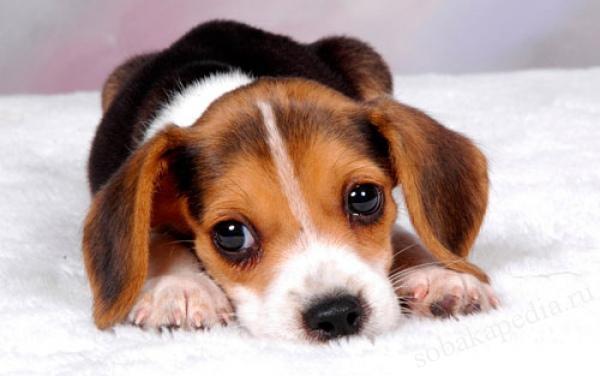 Питание собаки с рахитом