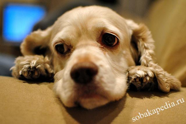 Профилактика сердечных заболеваний у собак