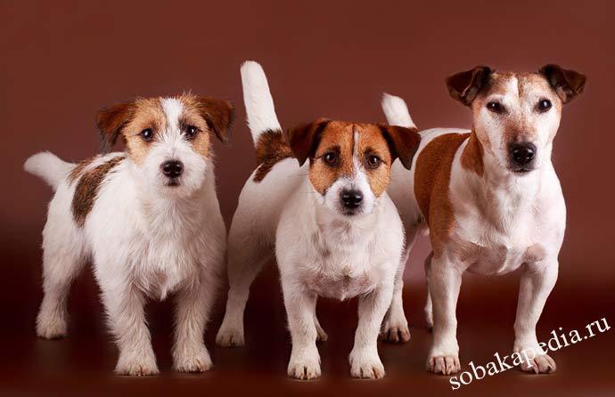 Дрессировка джек-рассел-терьера — этапы воспитания щенка
