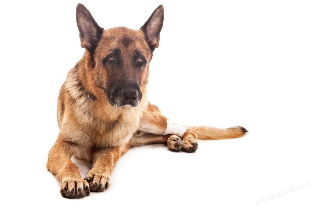 Диагностика артрита у собак