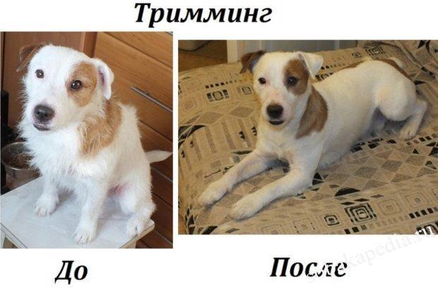 Какие собаки нуждаются в тримминге