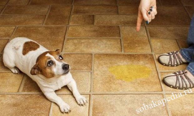 Как приучить собаку к туалету