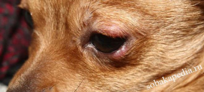 Лечение микроспории у собак
