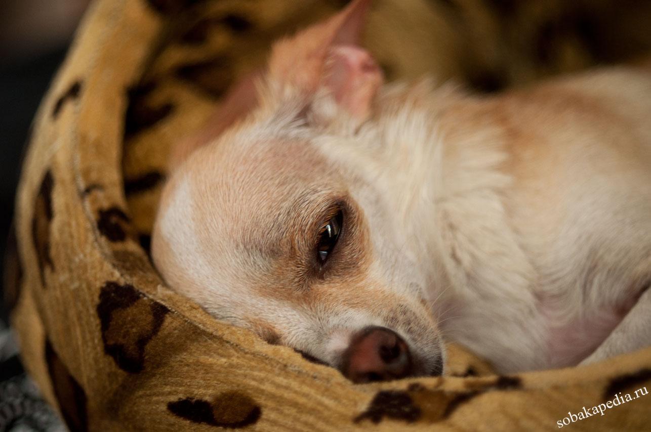 Лечение мастита у собак