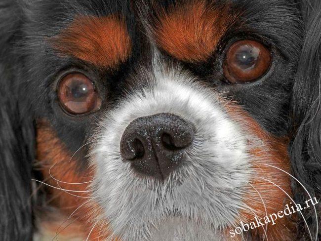 Катаракта у собаки