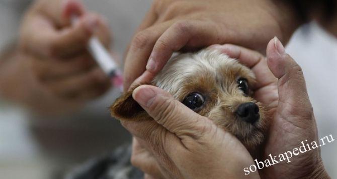 Как делать вакцинацию собак