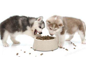Чем кормить щенка хаски