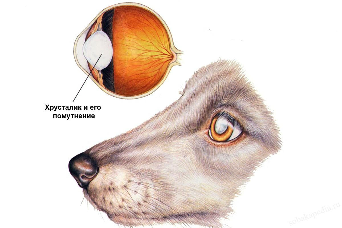 Лечение катаракты у собаки