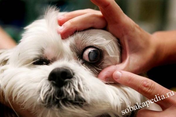 Профилактика катаракты у собаки