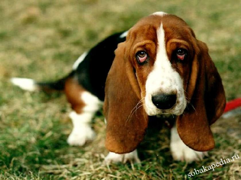 Диагностика панкреатита у собак