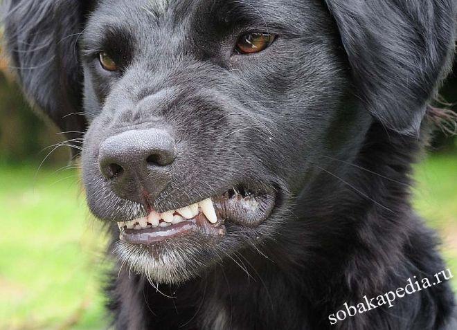 Симптомы бешенства у собак