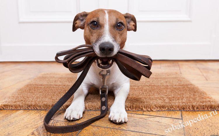 Узнаем как приучить собаку к поводку и ошейнику — советы для любого возраста