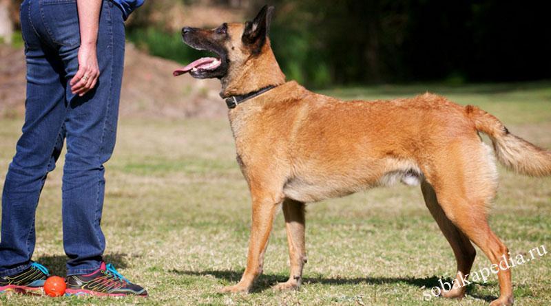 Как научить собаку команде «Ко мне»