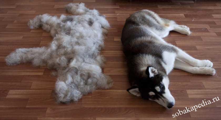 Собака сильно линяет