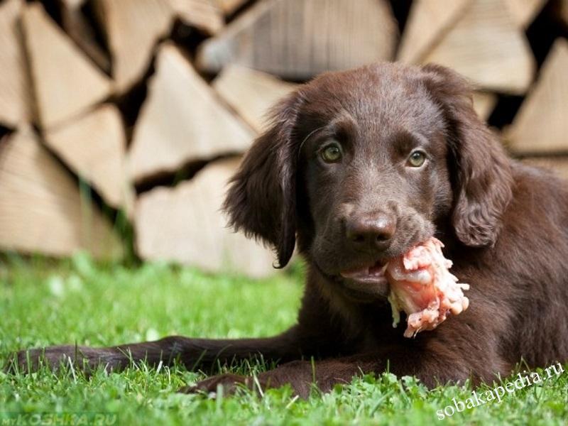 Бруцеллез у собак лечение