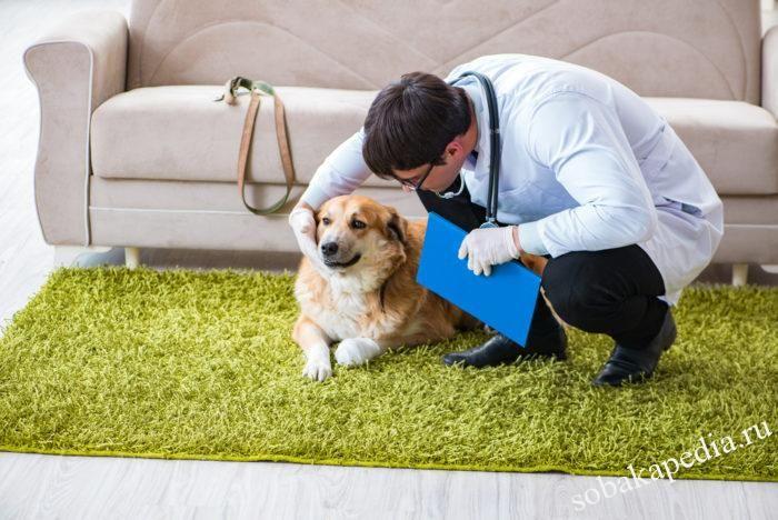 Как диагностировать и лечить простатит у собак