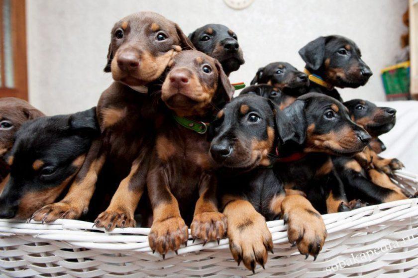Покупка щенка Добермана