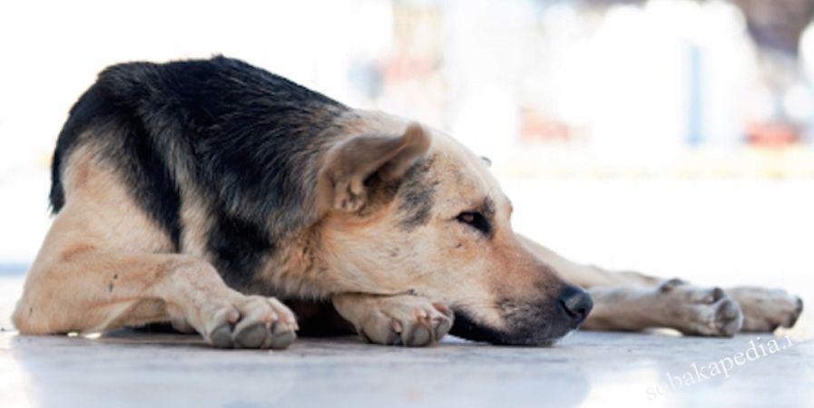 Симптомы сердечной недостаточности у собак