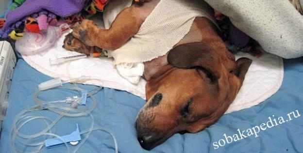 Уход за собакой после операции стерилизации
