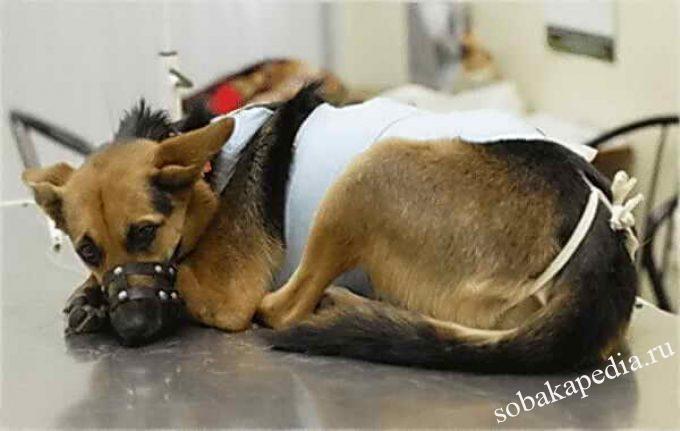 Как сделать так, чтобы собака не кусала и не расчёсывала швы