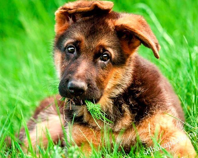 Уход и воспитание щенка немецкой овчарки