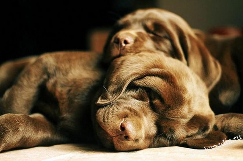 Лечение венерической саркомы у собак
