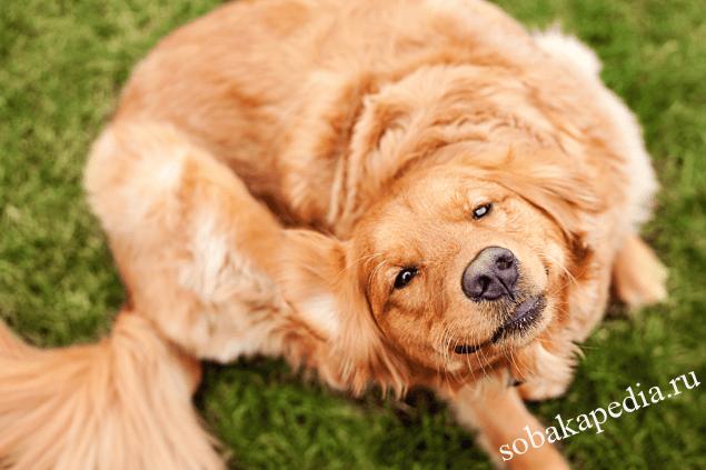 Причины перхоти у собаки