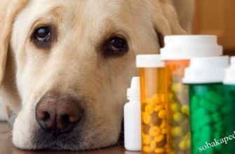 Дегельминтизация собак перед прививкой