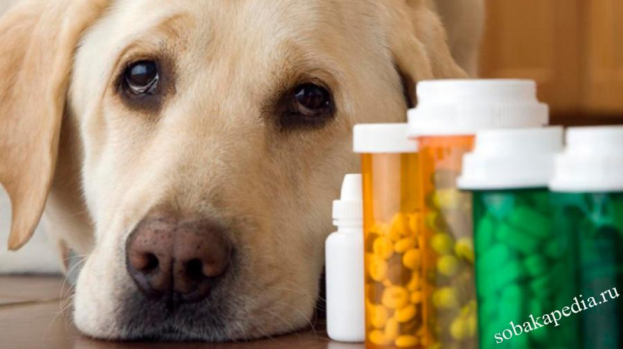 Дегельминтизация собак перед прививкой — когда необходима и как проводится