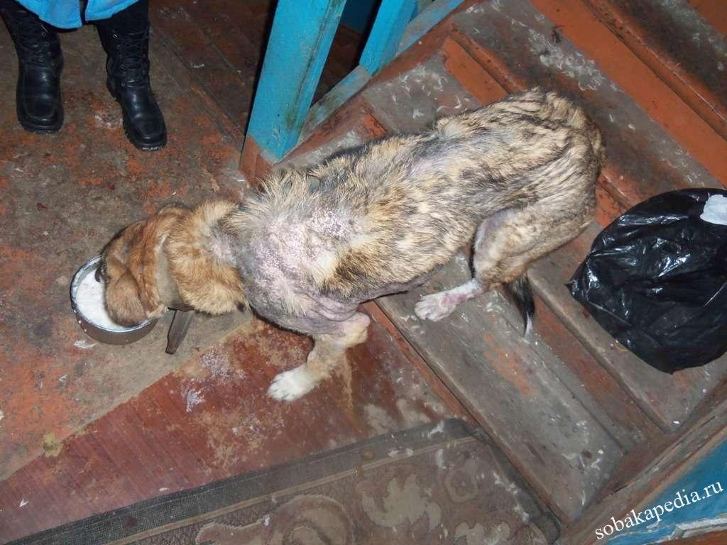 Саркоптоз у собак, симптомы, лечение