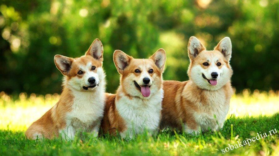 Вельш-корги — самые улыбчивые в мире собаки