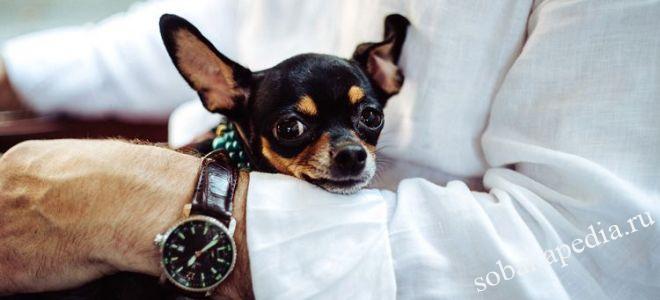 Послеродовая эклампсия (гипокальциемия) у собак