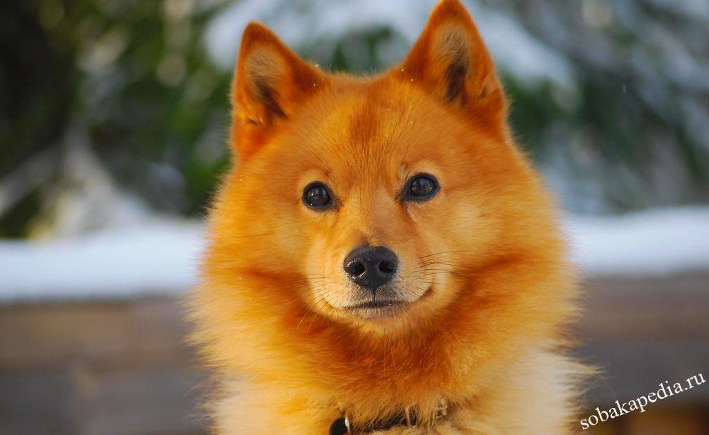 Карело-финская лайка — российская селекционная порода охотников