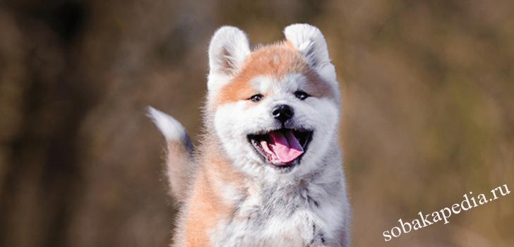 Акита-ину — собака «собственник»