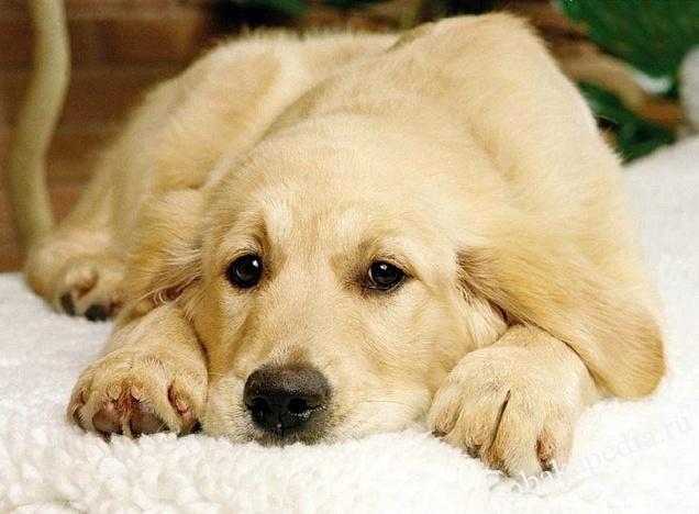 Симптомы перхоти у собак