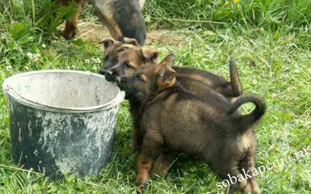 Чем кормить немецкую овчарку