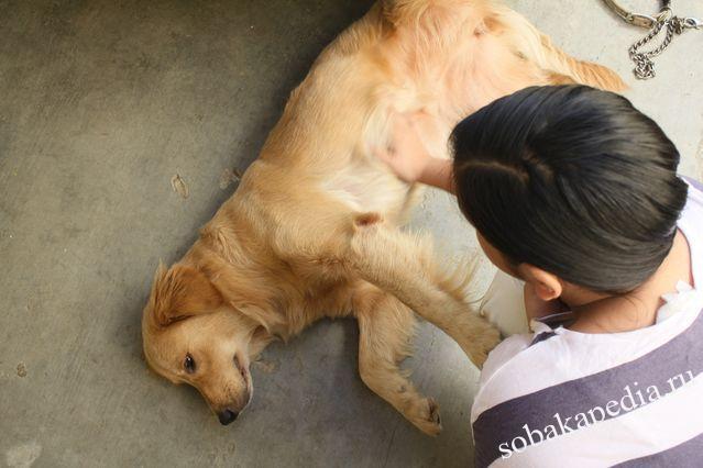 Идиопатическая или первичная эпилепсия у собак