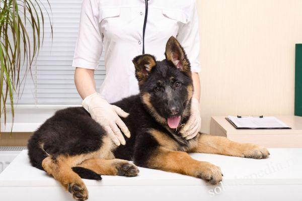 Лечение дисплазии у собак