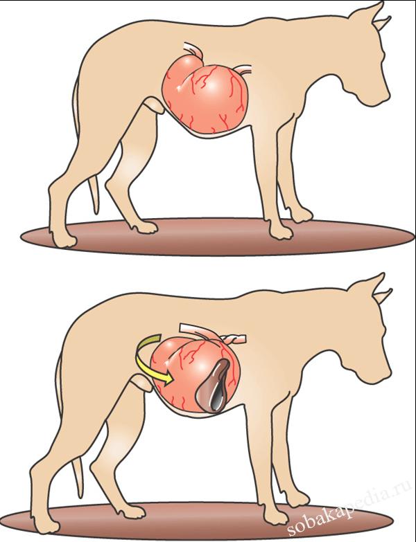 Что делать при завороте кишок или желудка у собак