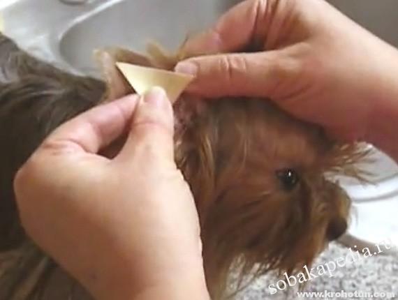 Как поставить уши йорку