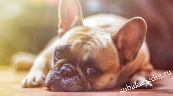 Инфекционный и токсический гепатит у собак — симптомы и лечение